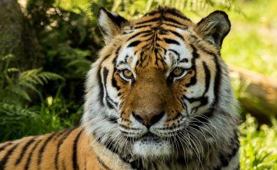 Vladimir Siberian Tiger at Dartmoor zoo