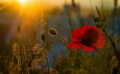 Poppy flower, sunlight