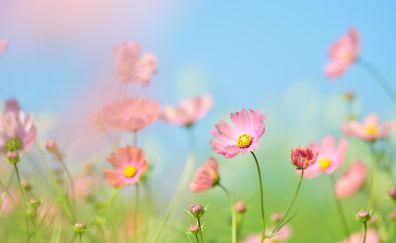 Pink cosmos, flowers, meadow, 4k