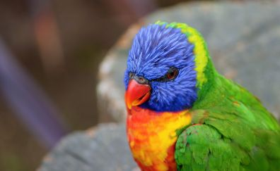 Rainbow lorikeet, Colorful, parrot, lori, bird