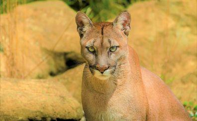Cougar, animal, wild cat, muzzle
