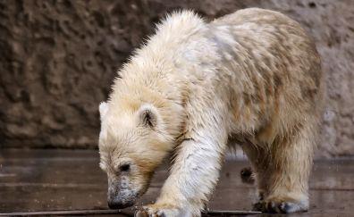 White polar bear, animal, predator