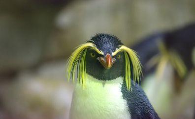 Macaroni penguin, arctic birds