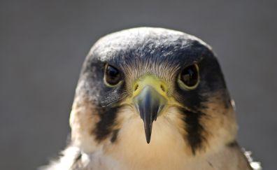 Peregrine falcon bird's head and beak