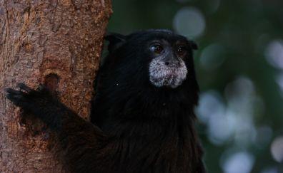 Black, animal, monkey, looking away