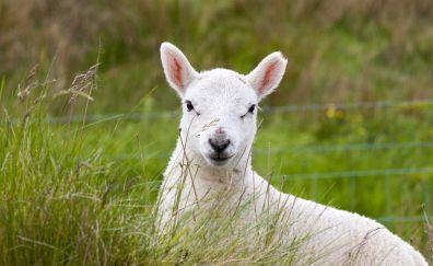 Cute Lamb, grazing, grass, domestic animal