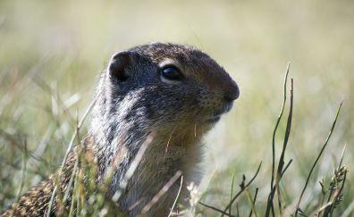 Wildlife, rodent, grass, animal