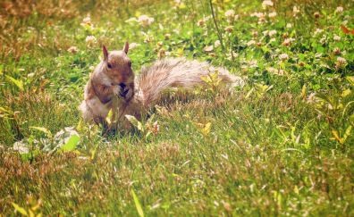 Squirrel, beautiful rodent, meadow, eating