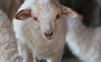 Cute, baby sheep, lamb, white animal