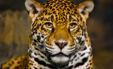 Big cat, wild cat, jaguar, muzzle, predator
