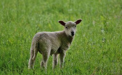 Lamb, small white sheep, grass field