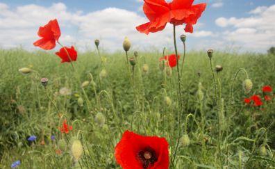 Poppy flowers field, red flower