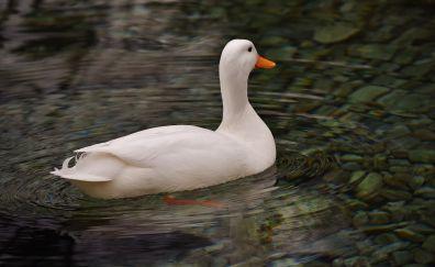 American Pekin Duck, bird, swim
