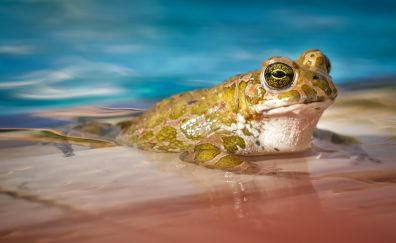 Frog, amphibian, animal, close up, 4k
