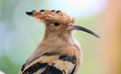 Widerhopf, Hoopoe, bird, long beak