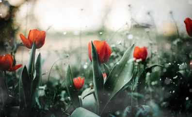 Red tulips, farm, leaves, blur, spring