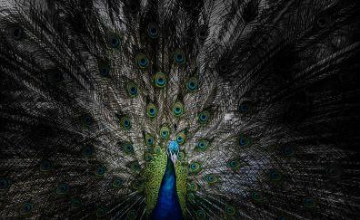 Peacock, bird, dance, feathers