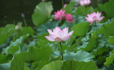 Pink lotus, leaves, flowers, pond