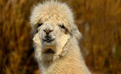 Lama, face, muzzle. animals
