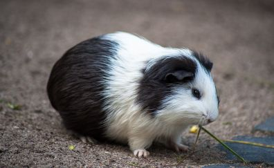 Small, cute, guinea pig, rodent