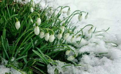 Snowdrop, flowers, white, winter snow