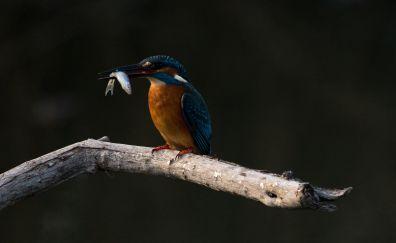 Kingfisher, bird, fishing