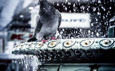 Pigeon, love, water splashes, bird