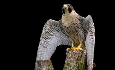 Raptor, falcon, predator, wings