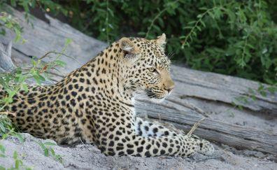 African leopard, predator, wild animal, 4k