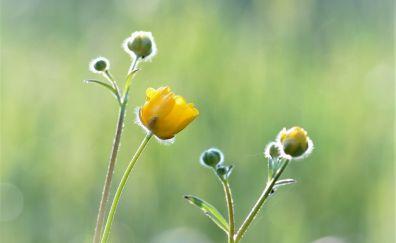 Meadow, buttercup, yellow plants, flower