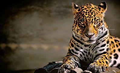 Confident, predator, leopard, animal, 4k