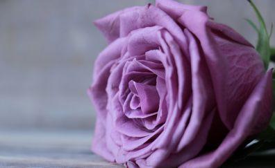 Purple rose, close up, flower