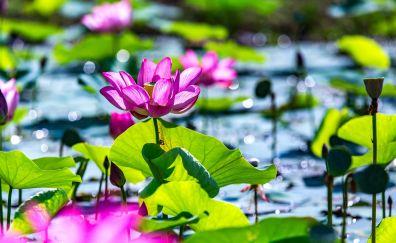 Lotus, pond, leaves, plants, bokeh, 5k