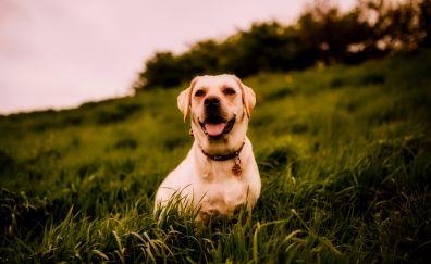 Labrador Retriever, pet, Dog, landscape, grass