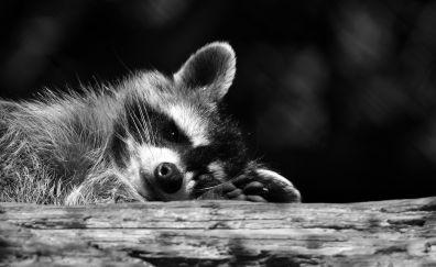 Raccoon, relax, rest, wild animal, monochrome