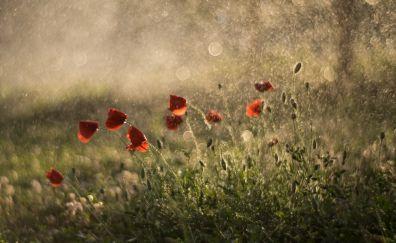 Summer, flowers, poppy, bokeh