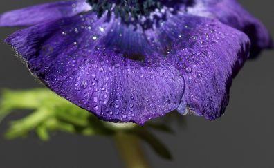 Purple flower, petals, rain drops
