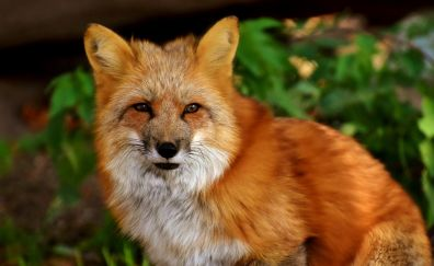 Red fox, wildlife, predator, 5k