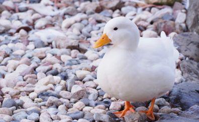 American Pekin, white duck, rocks, walk