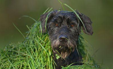 Schnauzer, black dog, muzzle, grass, 4k