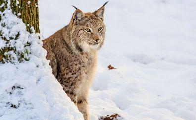 Wild lynx, animal, predator