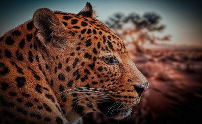 Leopard muzzle, predator, wild cat