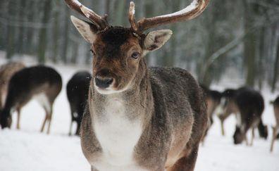 Deer Hirsch, wild animal