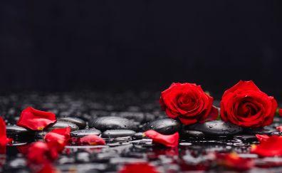 Red roses, petals, rocks, surface, 5k