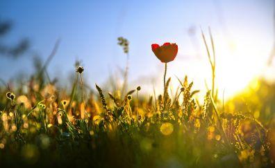Sunrise, bokeh, flowers, plants, red poppy, meadow