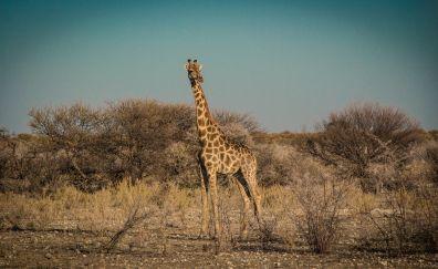 Namibia, giraffe, wild animal, landscape, 5k
