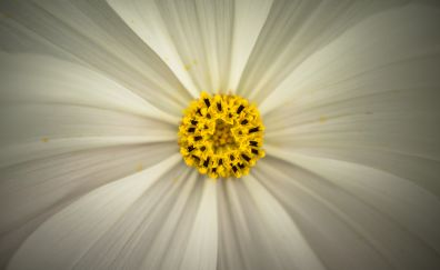 Cosmos, pollen, closeup, flower, 4k