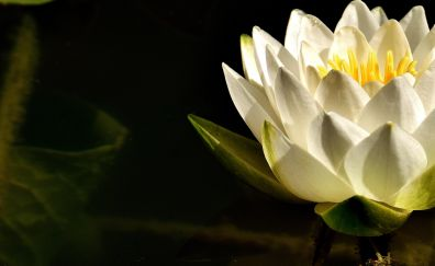 White flower, water lily, flowers, petals