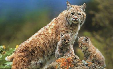 Lynx, family, wild animals