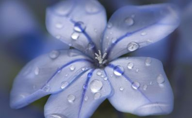 Blue flower, water drops, close up, 4k